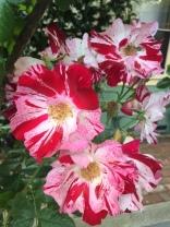 Birdsong roses