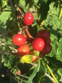 Cherry ready for picking